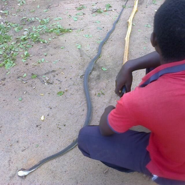 Black mamba bites Plumtree woman to death at a local ...