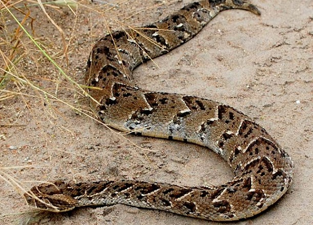 Tsikamutandas Found With Live Puff Adder En Route To Cleansing Ceremony