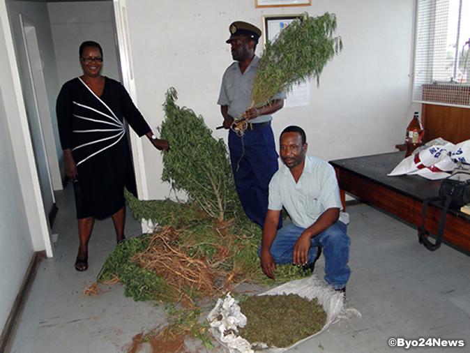 Massive Mbanje Plantations Discovered: Nine Arrested