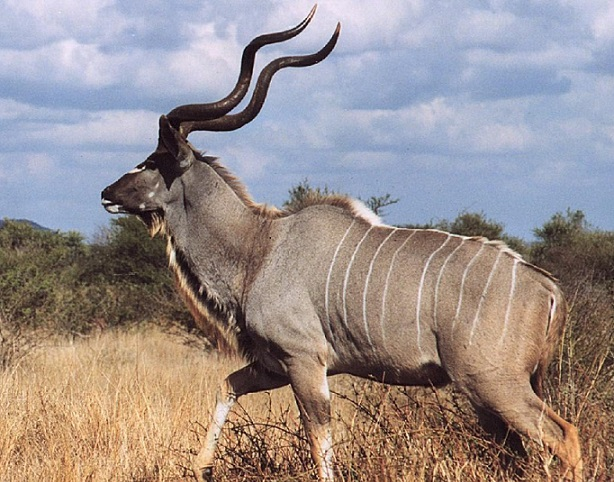 Hunter To Pay $1,000 For Illegal Killing Kudu
