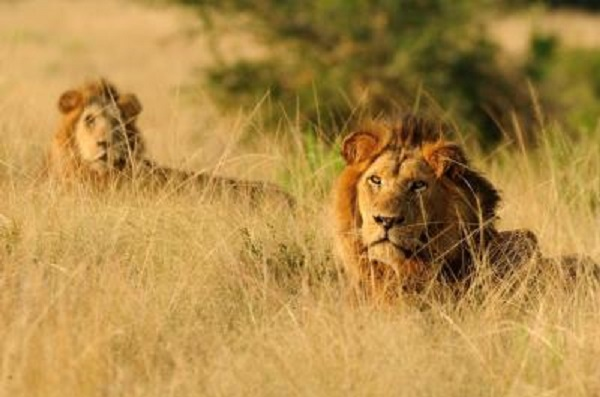 10 Lions Wrecking Havoc In Tsholotsho